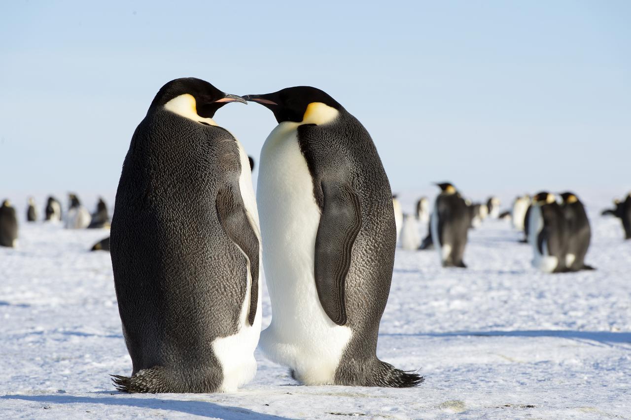 Императорским пингвинам грозит вымирание