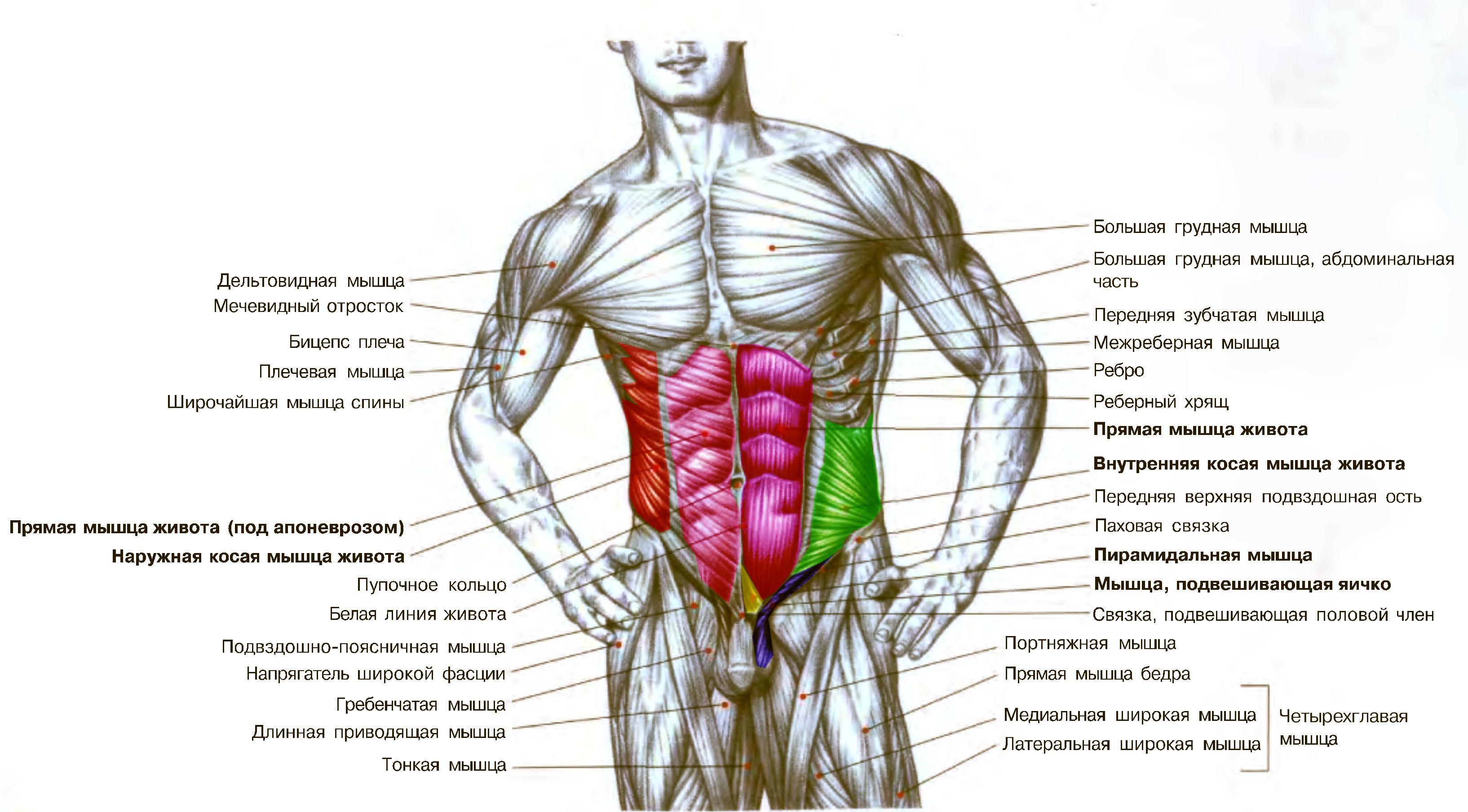Схема мышц тела человека / ©Flickr