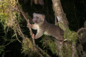 09_Olinguito-FLPA-HIGH-RES-00000-00521728