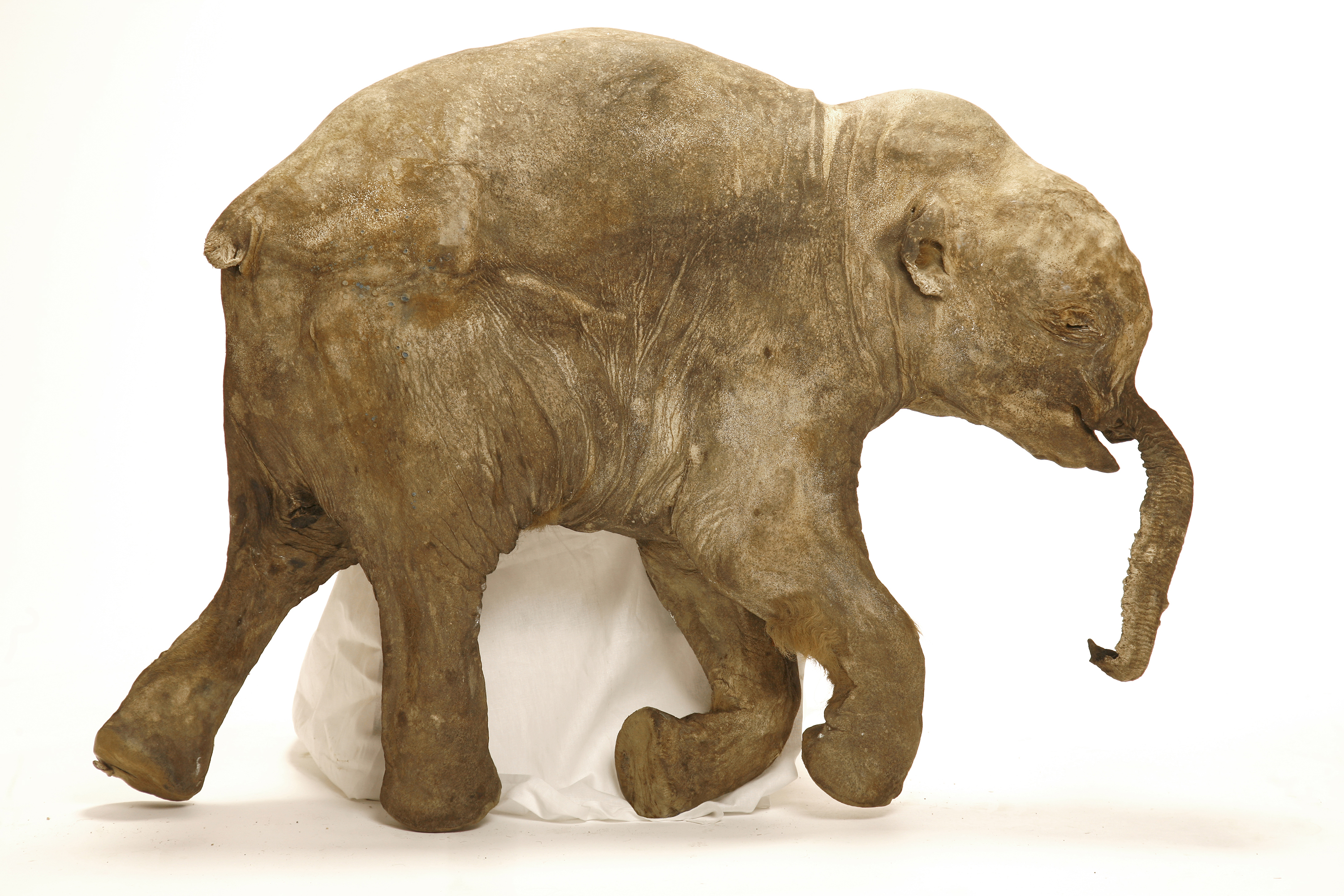 short-lives-violent-deaths-two-ct-scanned-siberian-mammoth-calves-yield-trove-of-insights-Lyuba-orig-20140708