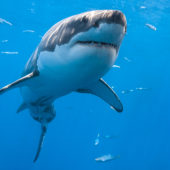 great-white-shark-from-below