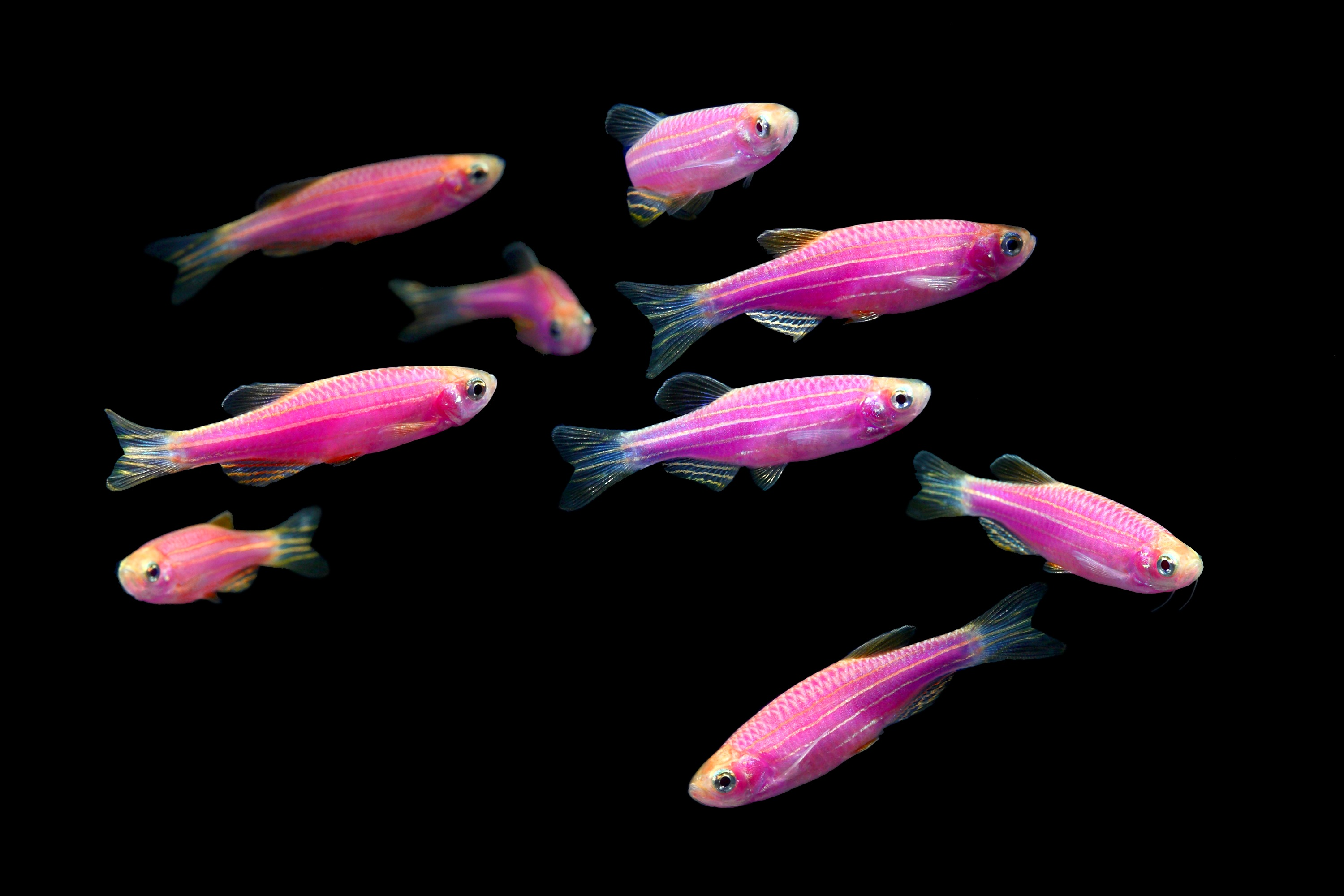 glofish-danio-rerio-purple-danio-information-wiki-glofish-danio-for-sale-and-where-to-buy-aquatic-mag-1