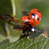 ladybug-insect-open-wings-leaves-wallpapersbyte-com-3840x2400