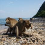 Тайские макаки освоили орудия труда и истребляют местные популяции моллюсков