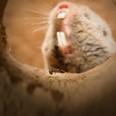 highveld_mole_rat2_edit4