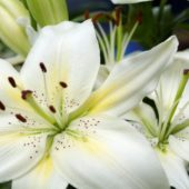 nature_flowers_large_white_lilies_058387_