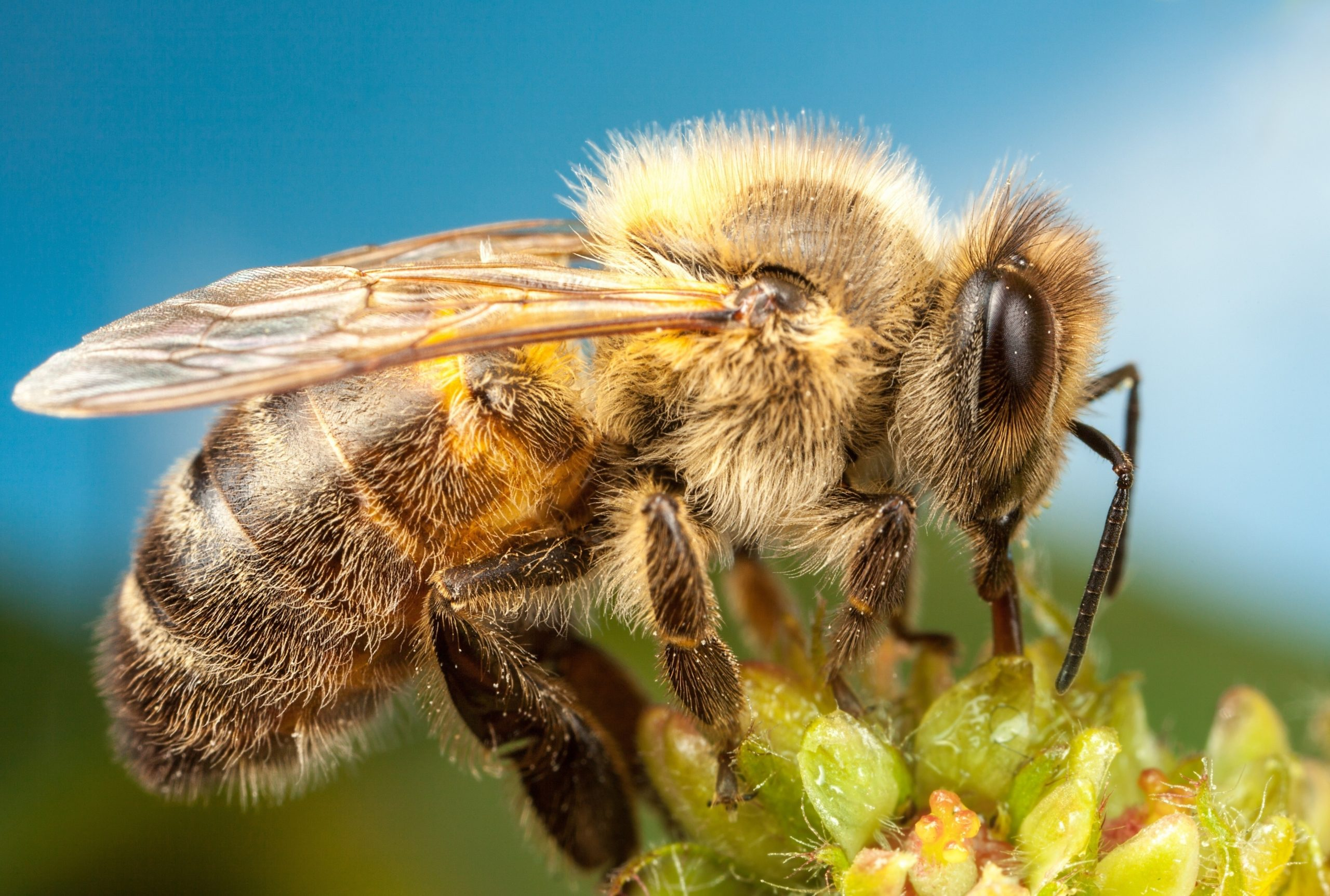 https://naked-science.ru/wp-content/uploads/2019/12/2018Animals___Insects_Bee_on_flower_on_blue_background_close-up_123487_-scaled.jpg