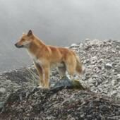 Высокогорная дикая собака